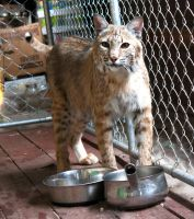Bobcat stock 3 by C-F-photography