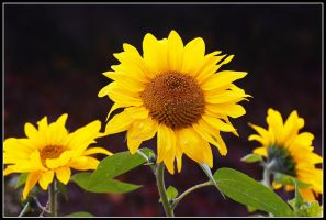 Sunflowers by Viliggoly