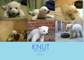 Knut by samshabam