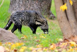 Civet by Adrienmcguire