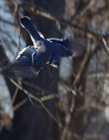 Bluejay Dive by barcon53