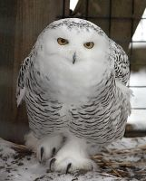 Owl Stock 12: Snowy by HOTNStock