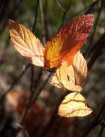Pale orange leaves by TinyWild
