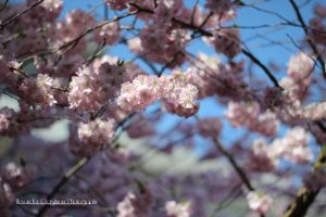 Cherry Blossom II by AGerst