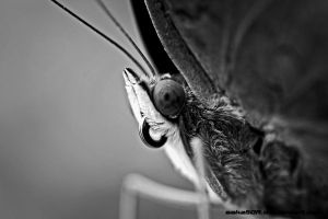 BW ButterFly by saka50ft