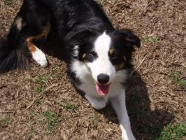 Border Collie by lordsoth426