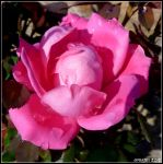 Pink Double Knock Out Rose by Medbie
