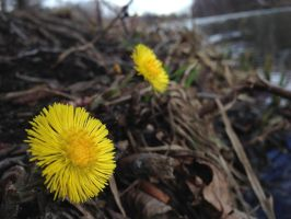 coltsfoot by iricolor