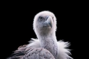 Vulture, I by Areksim