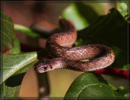 Brown Snake 40D0029105 by Cristian-M