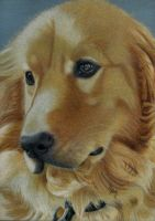 Golden Retriever by ElwynEllessar