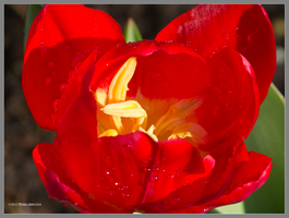 Inside a red tulip by Mogrianne