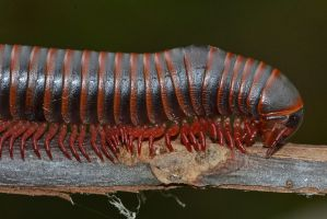 North American Millipede by wreckingball34