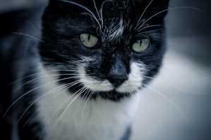 Portrait of a feline friend by Kobald669