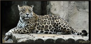 leopard by thornevald