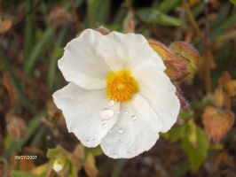 Raindrops on a Flower by RouxWolf