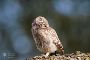 Qui, Moi? - Little Owl Chick by thrumyeye