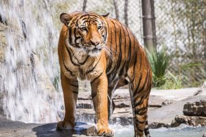 Tiger by DGPhotographyjax