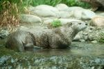 River Otter Laying in Water by happeningstock