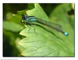 Damselfly by infiltrator