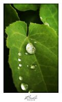 Drops on a Leaf by photogenic-art
