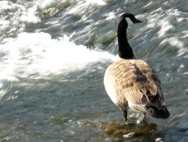 Canada Goose by April-Snowflake