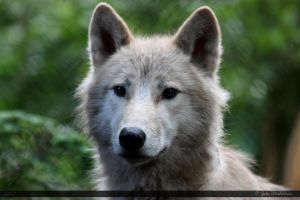 Hudson Bay Wolf 165 by Canisography