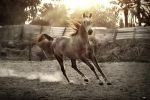 Arabian horse in sunset by IntelligentDesigner