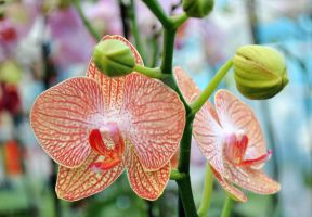 orchid IV by AnAntichrist11