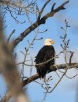 Same Eagle, different pic by sgt-slaughter