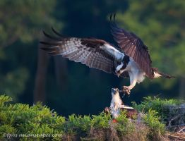Osprey Pair by FForns
