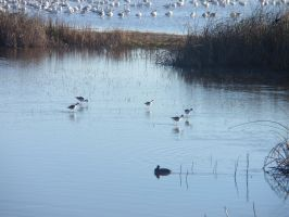 Marsh Sandpipers 4 by DreamsWithinMe