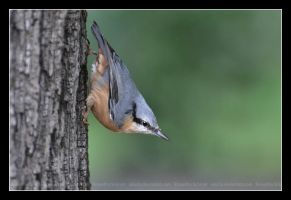 Nuthatch (007) - Sitta europaea by Sikaris