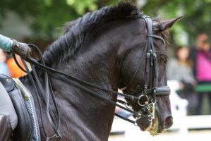 Black dressage horse with curb by LuDa-Stock