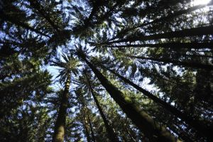 Looking up into the Trees by pohlmannmark