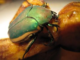 Fig Eater Beetle by Visualiart