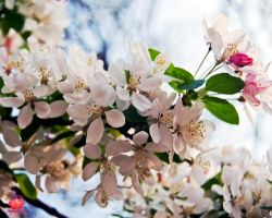 Beautiful Cherry Blossoms by MeKamalaPhotography