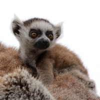 Lemur 03 by s-kmp
