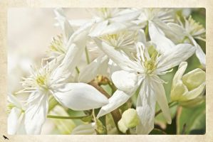White blossom. by jennystokes