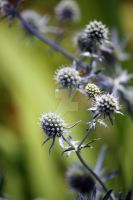 See?  Sea Holly! by WalnutHill