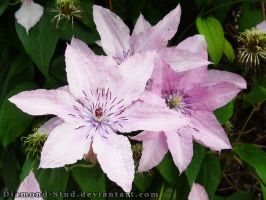 Clematis by Diamond-Stud