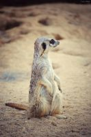 The Meerkat by Sara-Araujo