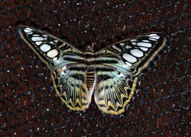 Butterflys V by m-faccone