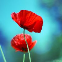 poppy. by simoendli