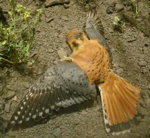Kestrel Catches Mouse by SalsolaStock