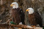 Bald Eagles 3 by Maginater