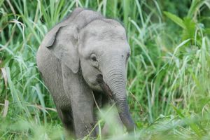 Pygmy Elephant by kontiki1