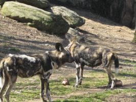 African Wild Dogs by ChaosToGlory
