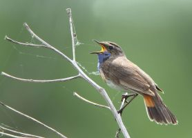 Blowing out the cob-webs - Common Bluethroat by Jamie-MacArthur