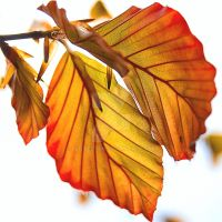 Leaf Study 2 by JLP-Pelton